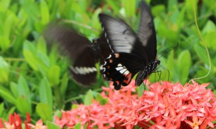 Butterflies and the Metamorphosis of the Nissan Altima