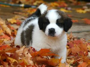 St.Bernard puppy