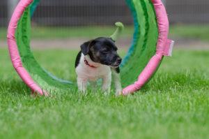 jack-russel-puppy